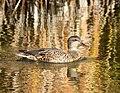 Gadwall on Seedskadee National Wildlife Refuge (37713428656).jpg