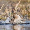 Gadwall performs calisthenics in the water.jpg