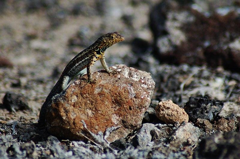 File:Galápagos lava lizard (4202547804).jpg