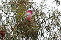 Galah in tree.jpg