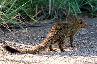 Galerella - Slender mongoose (Galerella sanguinea)