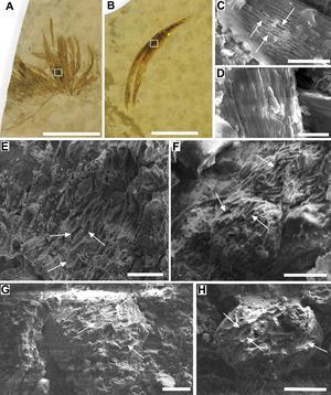 Gansus - Image: Gansus melanosomes