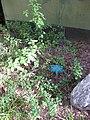 Gardenology.org-IMG 2406 ucla09.jpg