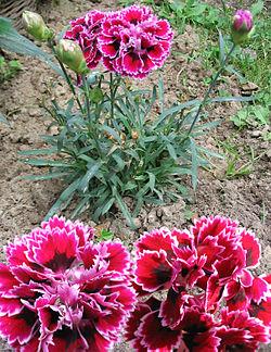 Clavel en floración