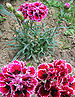 Double-flowered carnations
