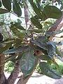 Gastonia cutispongia - Jardin d'Éden.JPG
