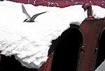 Gaviotín antártico.jpg