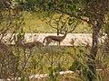 Gazelles, Reserve Touati.jpg