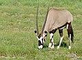 Gemsbok (Oryx gazella) male grazing ... (51028621191).jpg