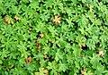 Geranium leaves by roadside property - geograph.org.uk - 957890.jpg