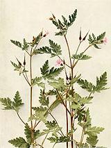 Geranium robertianum WFNY-119.jpg