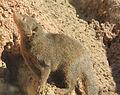 Gfp-dwarf-mongoose-2.jpg