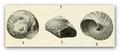 Gibbula rifaca 001.png