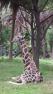 Giraffa camelopardalis from Nehru Zoological park Hyderabad 4372.JPG