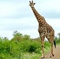 Giraffe (Giraffa camelopardalis) male ... (51212118106).jpg