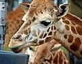 Giraffe 0027a (4015101921).jpg