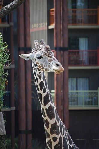 Disney's Animal Kingdom Lodge - Giraffe on the savannah at Jambo House