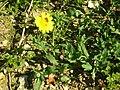 Glebionis segetum plant (02).jpg