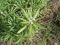 Globularia salicina (Puntallana) 01 ies.jpg
