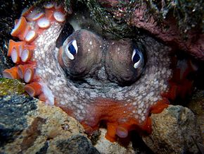 Description de l'image Gloomy Octopus-Octopus tetricus.JPG.