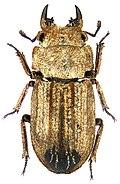 Gnaphaloryx sculptipennis Westwood, 1864 male (3871523220).jpg
