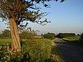 Gnarled Tree at Roadside - geograph.org.uk - 453541.jpg