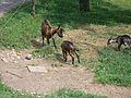 Goats in Slovenia (4757680196).jpg