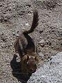 Golden-crested Ground Squirrel-300px.jpg