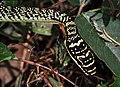 Golden Tree Snake (Chrysopelea ornata ornatissima) (7796693540).jpg