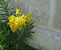 Goldenrod meets concrete - panoramio.jpg