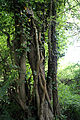 Good Easter, Essex, England - tree and ivy near to ford over River Can west of Good Easter village.JPG