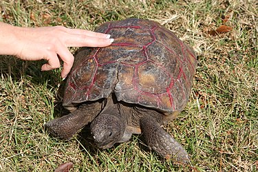 Gopher tortoise in Punta Gorda, Florida.jpg