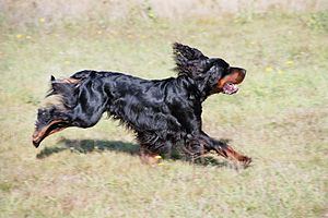 Gordon Setter - Gordon Setter running