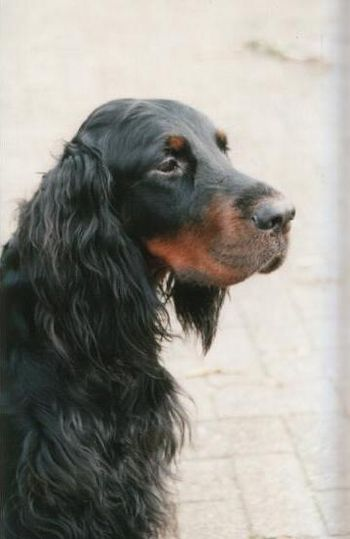 English: Gordon Setter Nederlands: Gordon Setter