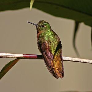 Gould's jewelfront - Image: Gould's Jewelfront hummingbird (Heliodoxa aurescens)