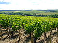 Grapevines in Chablis.jpg