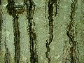 Graphis scripta.jpg