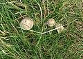 Grassland fungi - geograph.org.uk - 604562.jpg