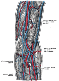 Vena comitans Paired veins accompanying an artery