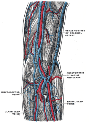 Vena comitans - The deep veins of the upper limb. (Venae comites labeled at upper right.)