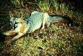 Gray fox predator urocyon cinereoargenteus.jpg