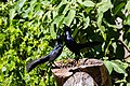 Great-tailed grackle (33867273408).jpg