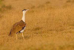 Great Indian bustard - At Naliya grasslands, Kutch, India
