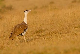 Great Indian bustard - At Naliya grasslands, Kutch, India