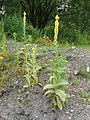 Great Mullein (Verbascum thapsus) - geograph.org.uk - 1471894.jpg