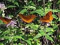 Great Spangled Fritillary on Monarda fistulosa by Todd Crabtree (8497631685).jpg