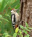 Greater-spotted Woodpecker. - Flickr - gailhampshire.jpg
