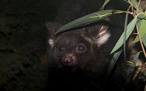 Greater glider - Head of a dark morph of the greater glider