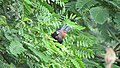 Greater coucal 02.jpg