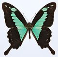 Green-banded Swallowtail (Papilio phorcas) (8419744199).jpg